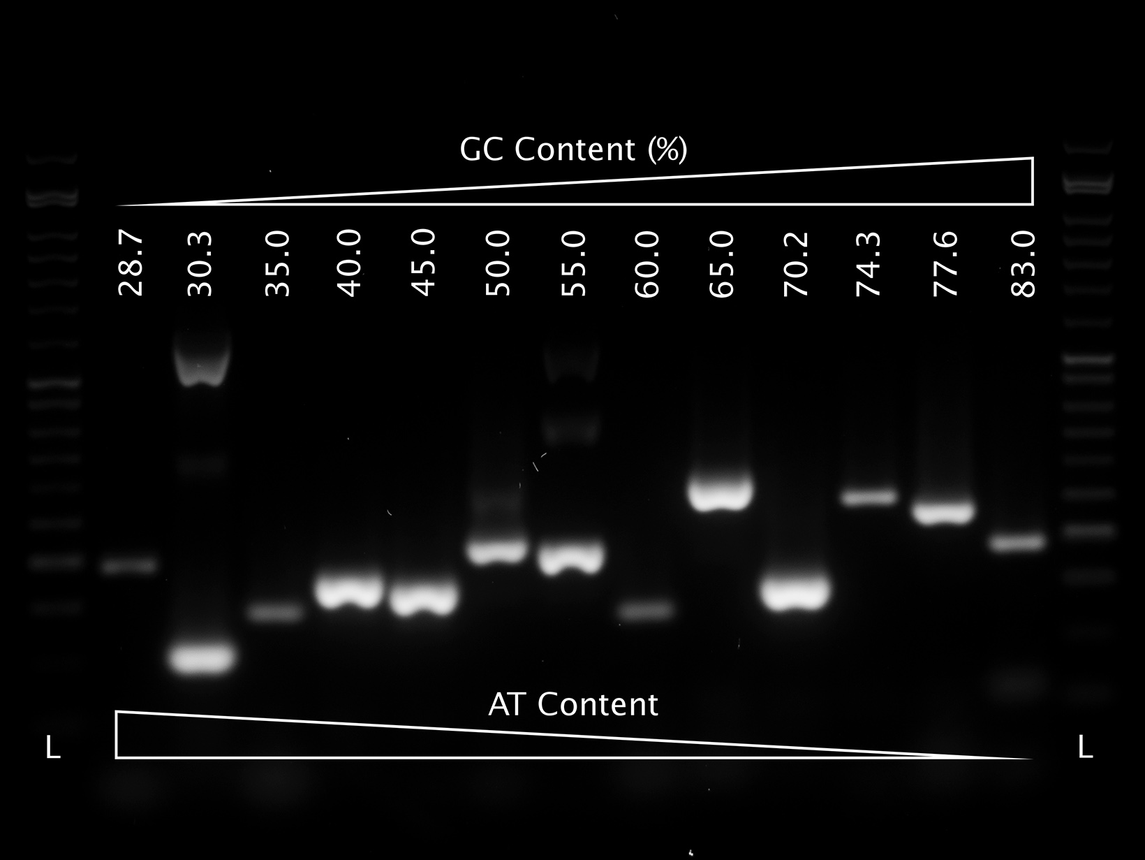 Gel image showing PCRBIO HS VeriFi Mix successfully amplifying templates with a broad range of GC and AT content