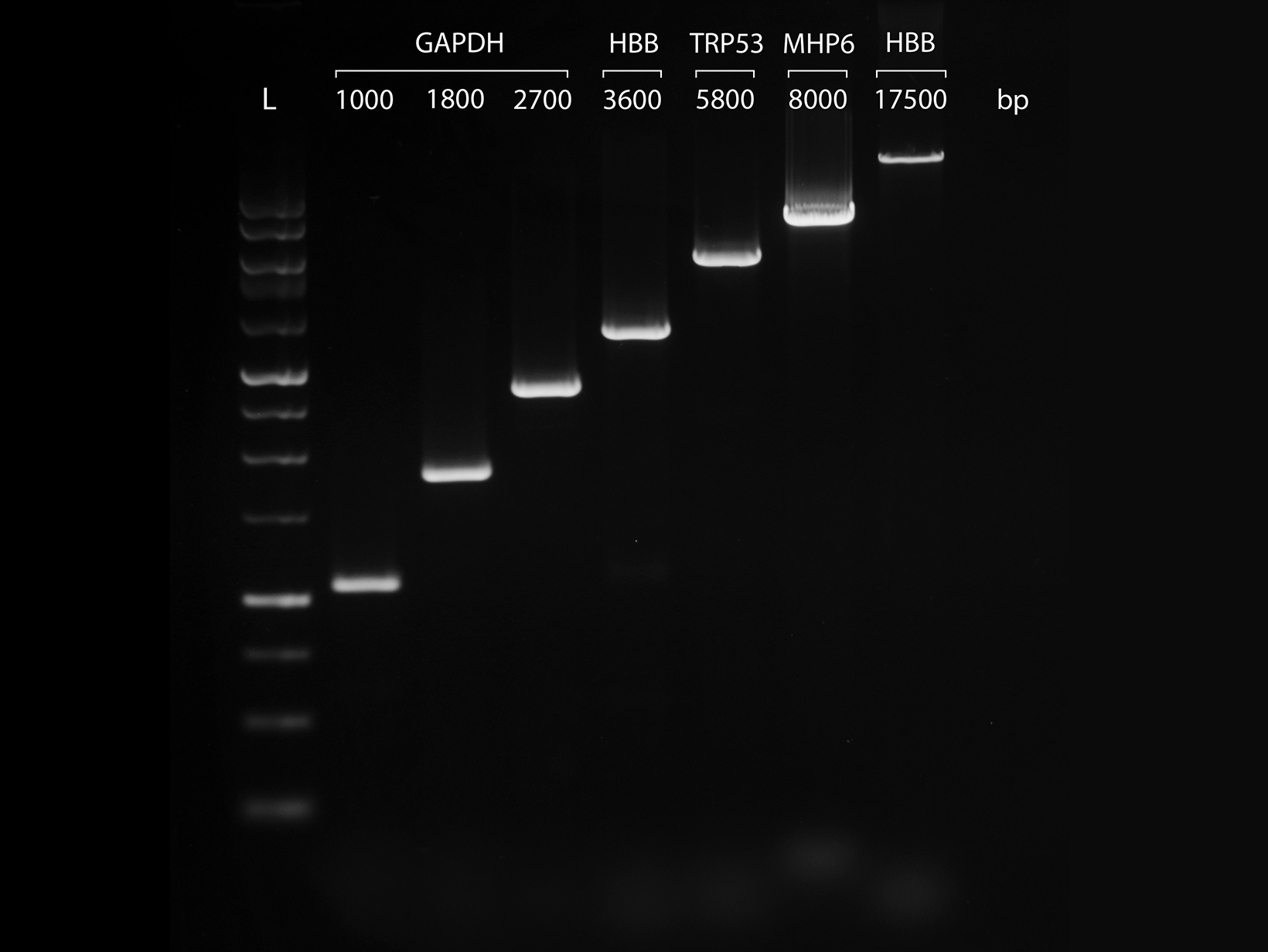Gel image showing PCRBIO HS VeriFi Polymerase successfully amplifying a broad range of amplicon lengths from 1kb to 17.5kb