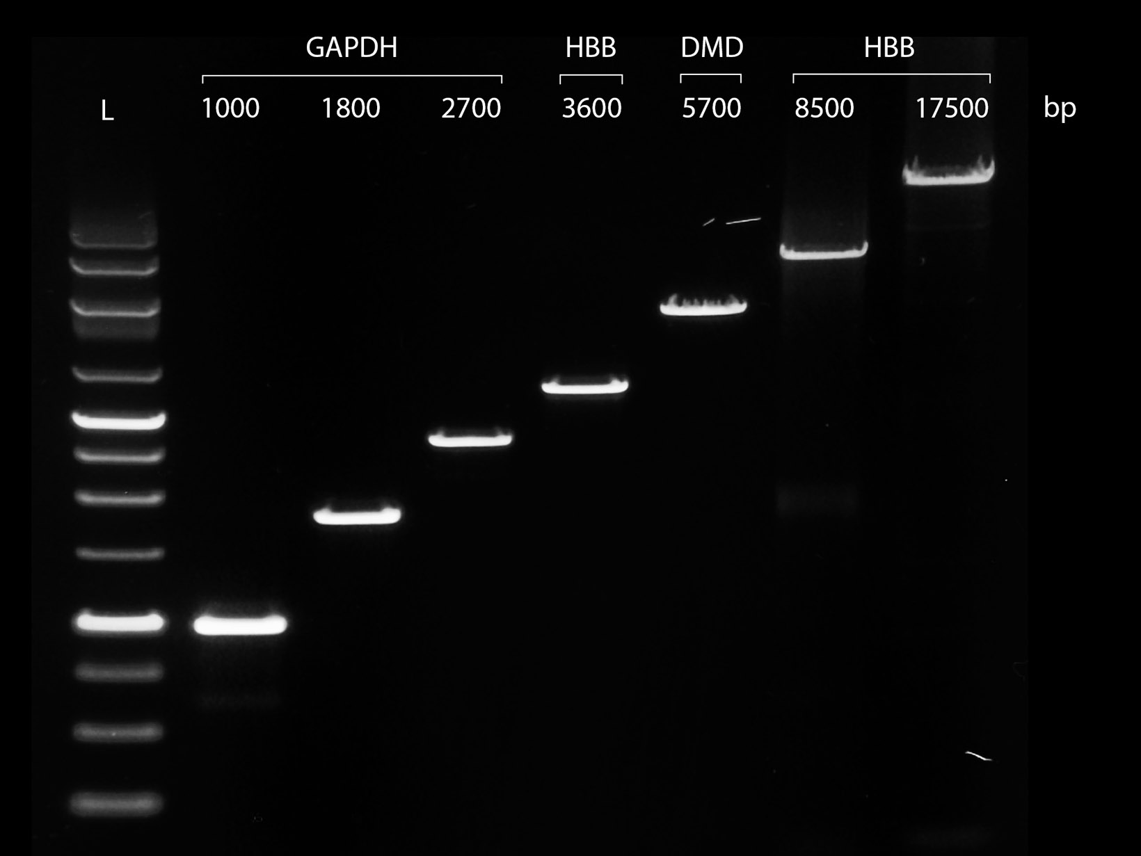 A gel image showing PCRBIO VeriFi Polymerase successfully amplifying complex genomic DNA fragments ranging in length from 1kb to 17.5kb