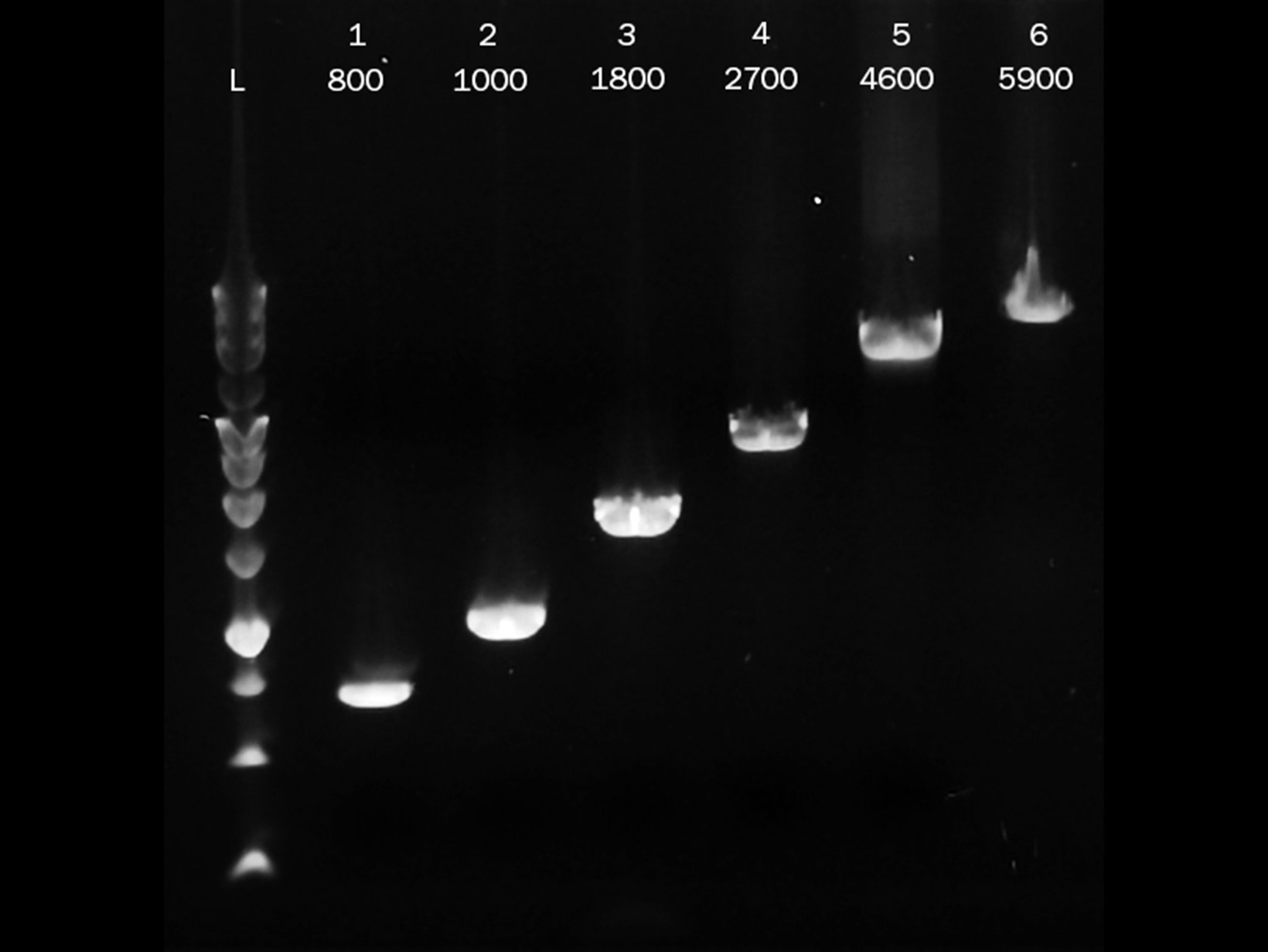 Gel image showing PCRBIO Ultra Polymerase successfully amplifying DNA fragments ranging from 0.8kb to 5.9kb in length