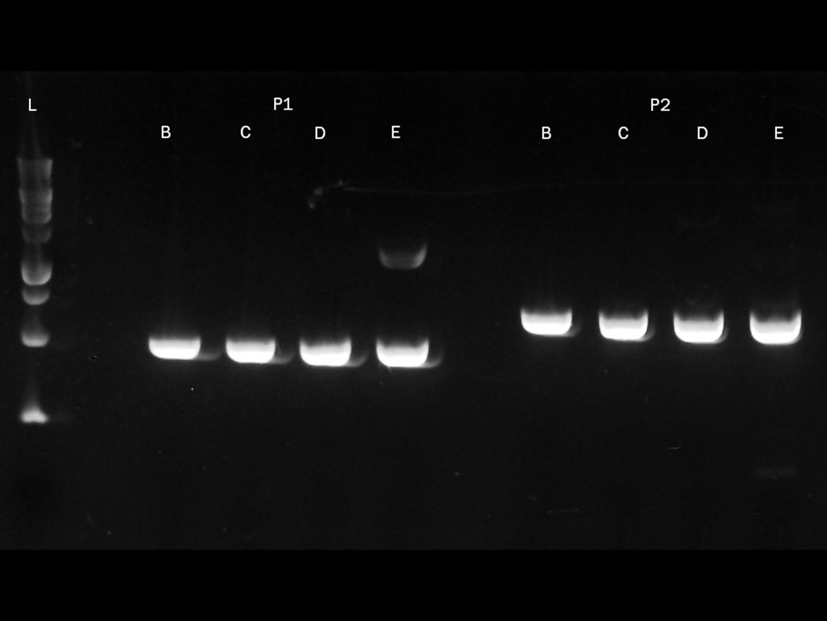 A gel image showing PCRBIO Ultra Polymerase successfully amplifying GC-rich templates of 69% and 71%